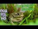 Содержание зелёных жаб в домашних условиях. Bufo viridis подробно
