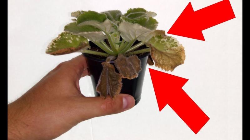 Почему гниют листья у фиалки Последствия перелива фиалки