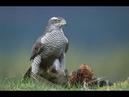 Дикая природа Ястреб на Охоте, Ястреб Хищная Птица
