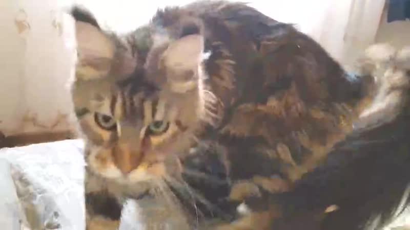 МЕЙН КУН КОТЯТА МЯУКАЮТ 🐱 МЕЙН КУН РАЗГОВАРИВАЕТ МЯУКАНЬЕ КОТЯТ MAIN COON CATS