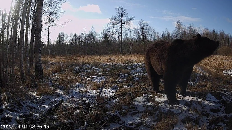 Brown Bear from Alutaguse Forest Camera Estonia