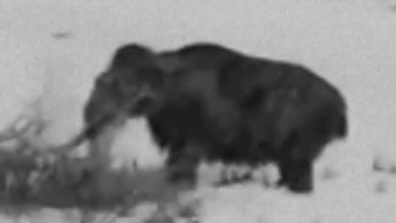 Живой мамонт в Сибири кадры хроники Якутск 1943г