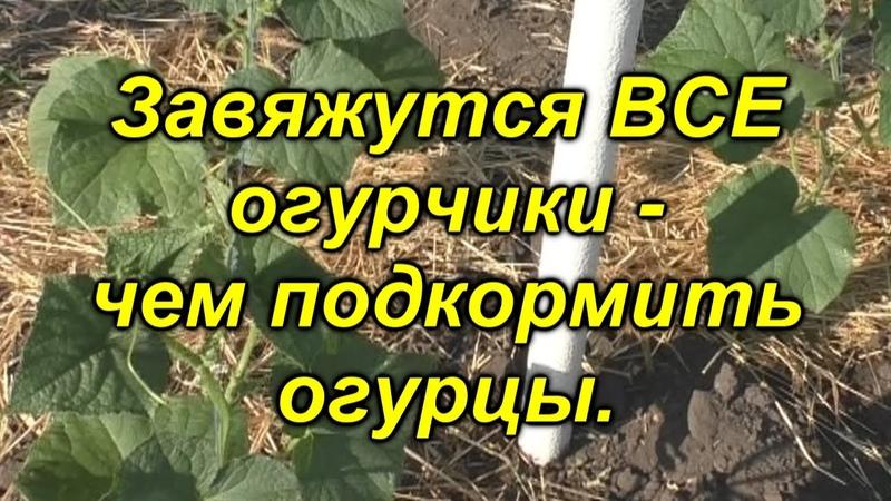 100 % все завязи на огурцах превратятся в зеленцы Чем подкормить огурцы