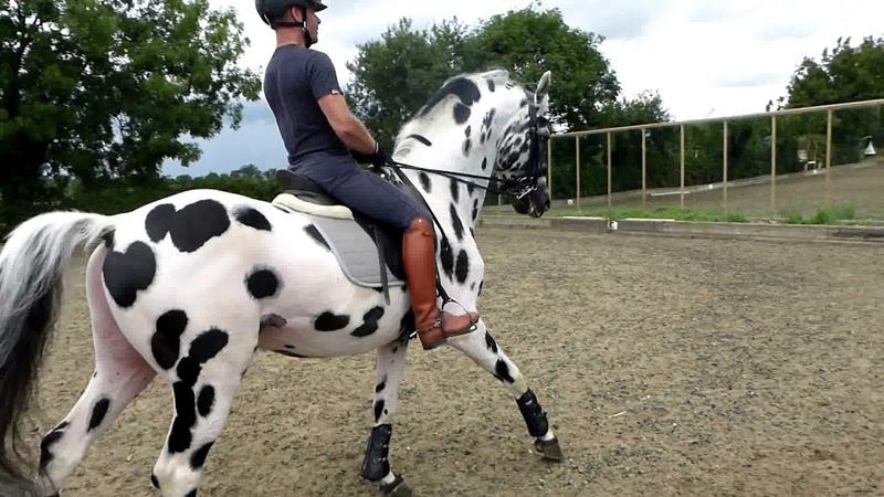Palousa San Sebastian San Remo x Gribaldi 1 71m stallion hengst etalon semental
