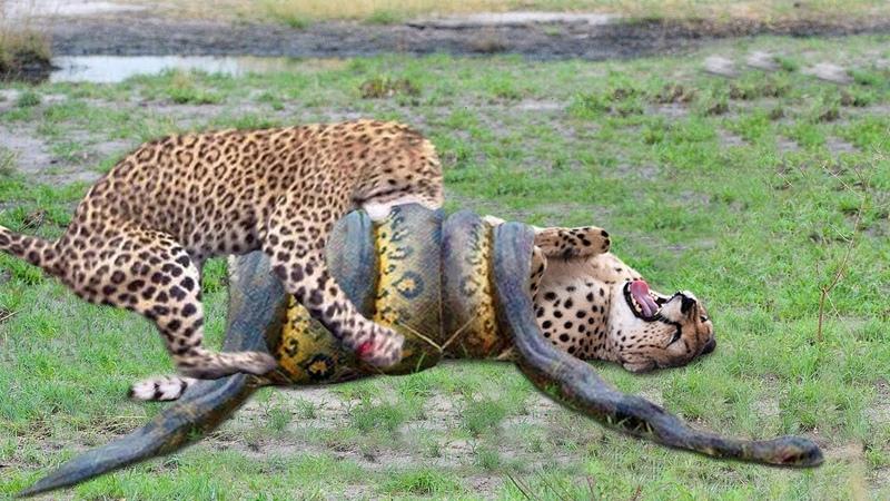 OMG Giant Python Hunt Leopard Cubs When Mother Leopard Hunting Impala Anaconda vs Crocodile