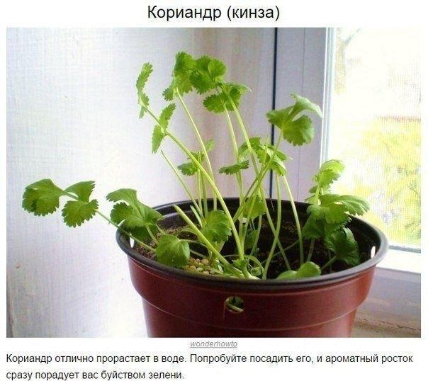 8 ОВОЩЕЙ,КОТОРЫЕ МОЖНО КУПИТЬ ОДИН РАЗ,А ПОТОМ ВЫРАЩИВАТЬ ВСЕГДА Очень легко всегда иметь свежую зелень на столе. Многие растения сразу же прорастают в воде и дают новый урожай. Попробуйте