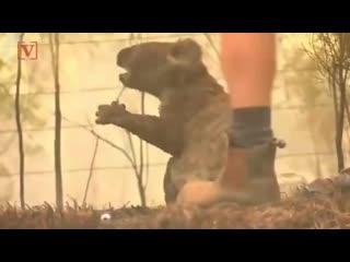 в Австралии женщина спасла маленькую коалу из пожара