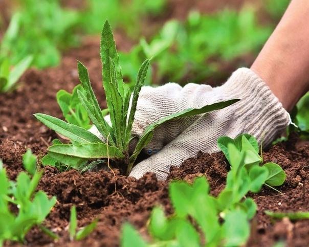 Как зеленка и нашатырный спирт могут пригодится дачным растениям Ежегодно большинство дачников ломают голову над тем, какое средство лучше купить, чтобы принести пользу своим растениям.