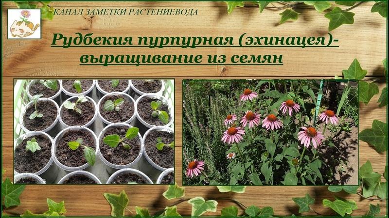 Эхинацея рудбекия пурпурная выращивание из семян от посева до цветения
