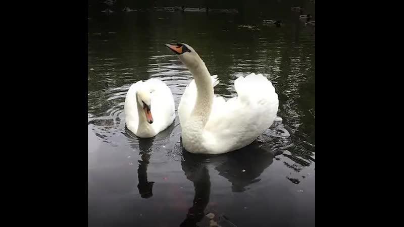 Лебедь-вдовец решил жить ради сына. (480p).mp4
