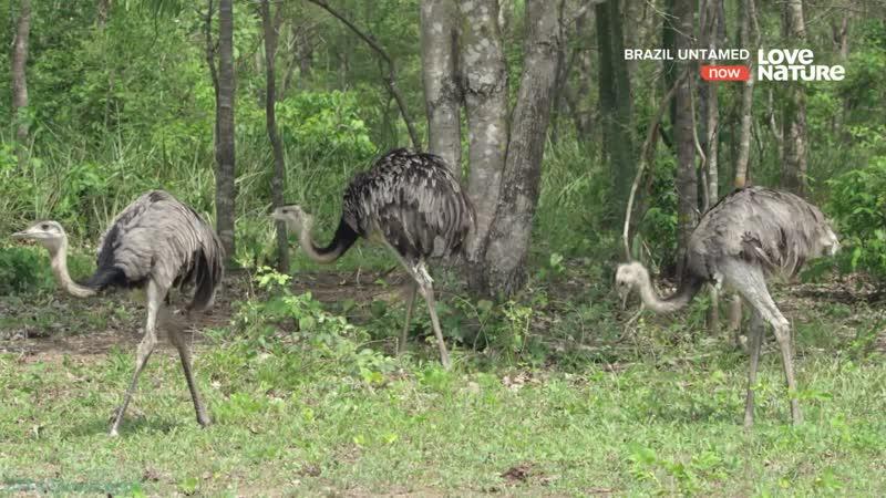 Дикая Бразилия 08 Саванна нанду Познавательный природа животные 2016