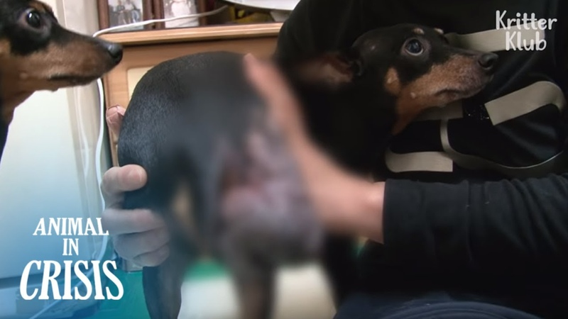 Poor Dog Had To Give Up Walking Eating Due To A Huge Tumor Growing Bigger | Animal in Crisis EP118