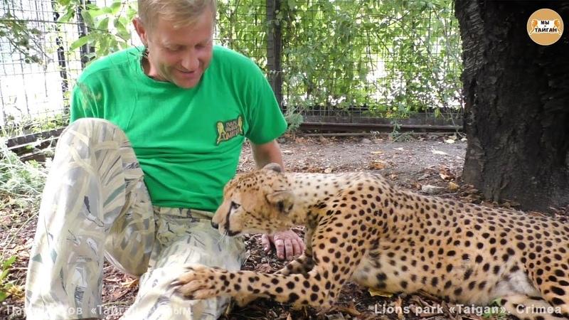 Магическое мурлыканье гепарда Роза и Фараон Тайган Cheetah's magical purr Taigan