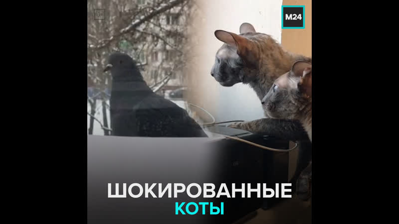 Коты в шоке от голубя Москва 24