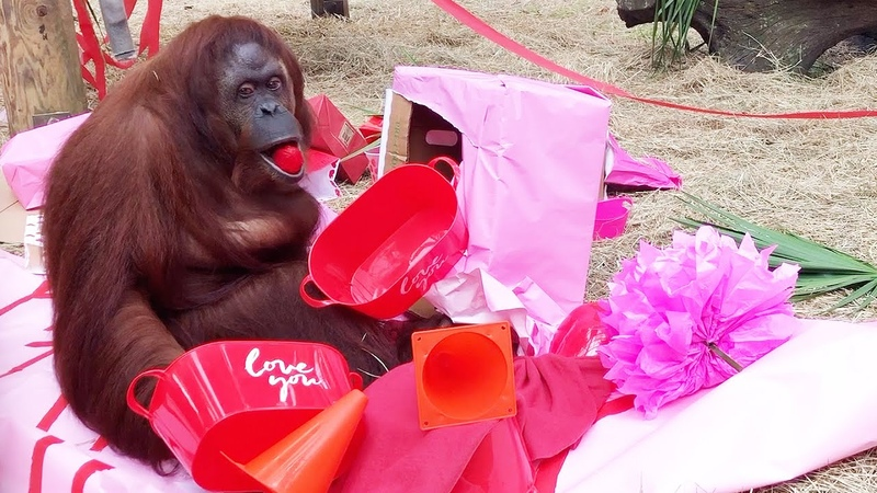 34th Birthday Party Surprise for Rescued Orangutan!
