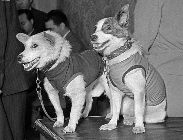 Белка и Стрелка советские собаки-космонавты, совершившие космический полёт на корабле «Спутник-5» 19 августа 1960 года Основной целью полёта было исследование влияния на организм животных и