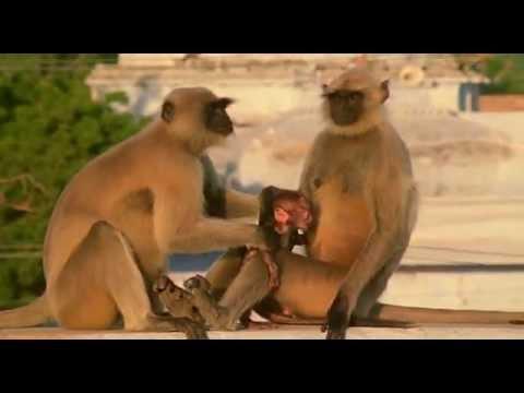 BBC Ребятам о зверятах Обезьяны 1 сезон 2 серия