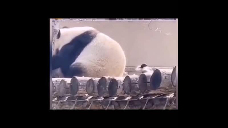 Тыкает панду