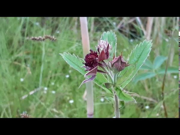 Сабельник болотный (ботаника для любознательных)