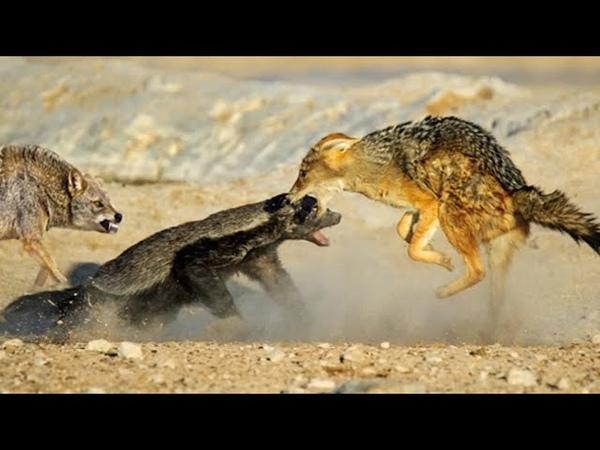 Он вам не БАРСУК МЕДОЕД ПРОТИВ львов леопардов варана змей и даже крокодила Медоед в деле